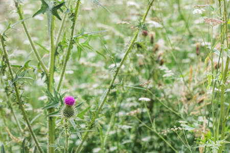 Pretty purple thistle among tander green grass at summer day Standard-Bild