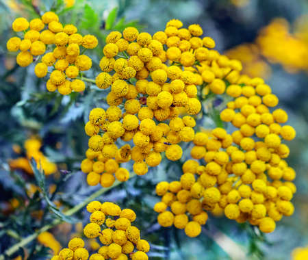 Beautiful yellow tansy at summer day for good mood Standard-Bild