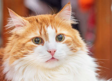 Pink nose of pretty adult red cat Standard-Bild