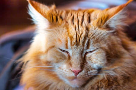Napping adult pretty red cat Maine Coon Standard-Bild