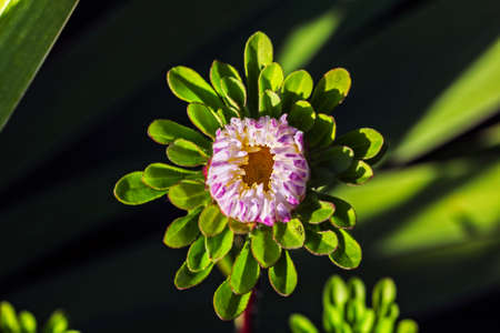 Aster charming bud on dark light background