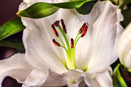 Pretty great blooming white Lily for good emotions Standard-Bild