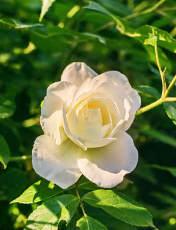 Charming delicate white rose in sunnny rays at day