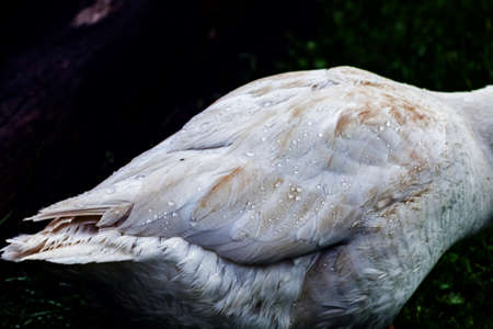 Drops of water on feathers of white goose on dark background