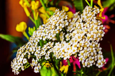 Pretty little flowers of white yarrow for health and good mood Standard-Bild