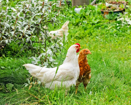 Adult white cockerel and brown chicken on green grass at summer day Standard-Bild