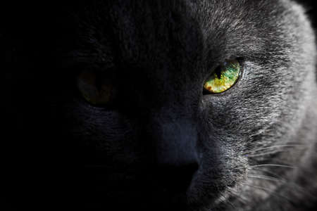 Look of adult pretty gray cat with yellow half-tone eye Standard-Bild