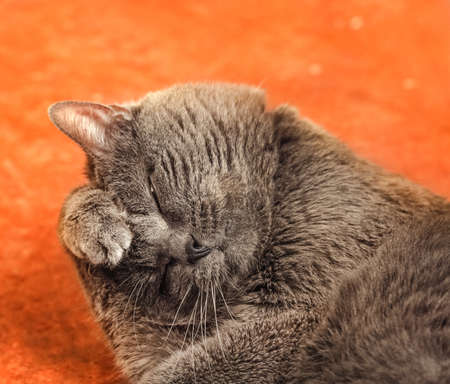 Pretty adult gray cat washes lying down on orange background
