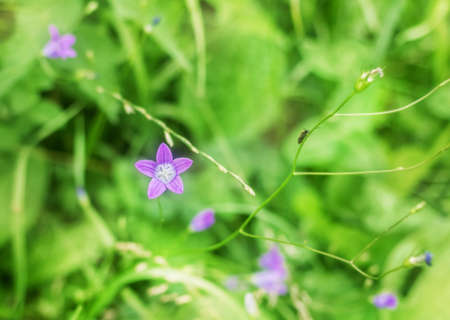 Pretty summer purple forest bell in green grass background at day Standard-Bild
