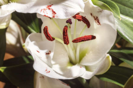 Charming blooming white Lily with brown stamens at sunny rays day Standard-Bild