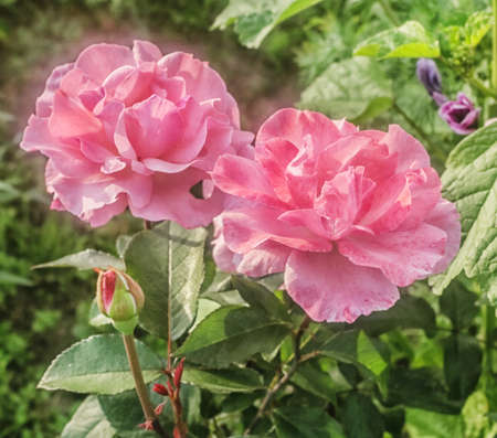 Two charming rose garden roses bloomed at sunny summer day