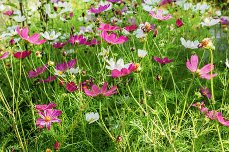 Beautiful pink flowers of cosmea on sunny happy summer day Standard-Bild