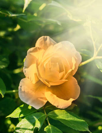 Beauty yellow rose in summer sunny rays at green fun background