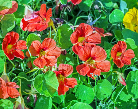 Pretty blooming orange nasturtiums flowers in green grass summer morning Standard-Bild
