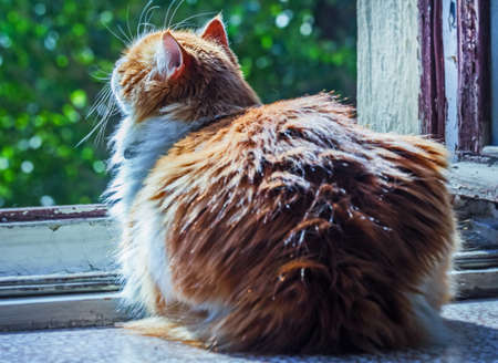 Pretty adult red cat in open morning window in sunny rays Stock Photo
