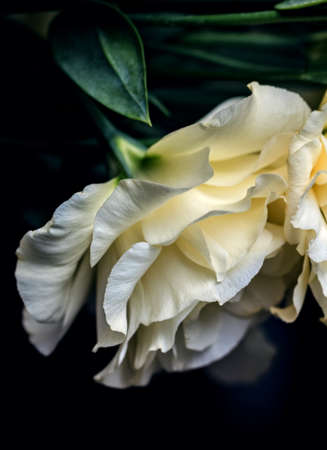 Charming blooming cream colored eustoma on dark background for romantic mood Stock Photo