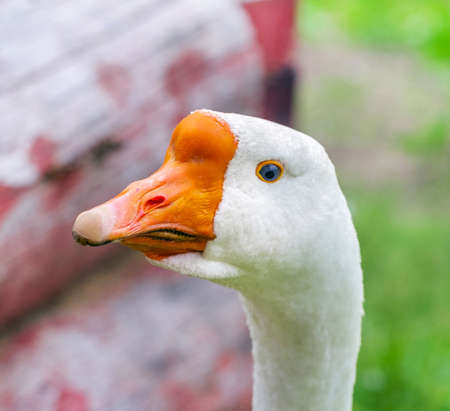 Pretty adult goose with blue eye looks intently into frame