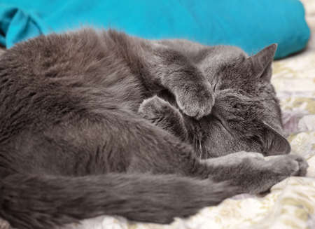Pretty adult sleeping gray cat covered its nose with its paw Stock Photo