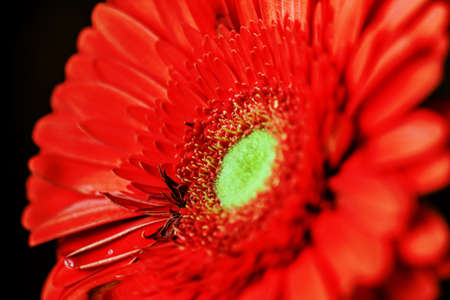 Charming real scarlet gerbera close-up on dark background for big effect of emotions