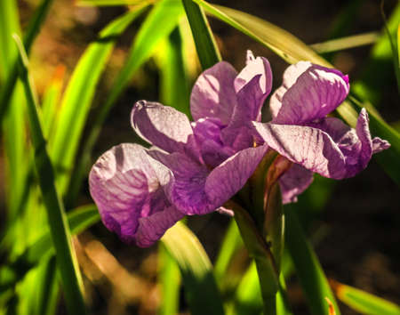 Real pretty delicate purple blooming iris at sunny summer happy morning Stock Photo