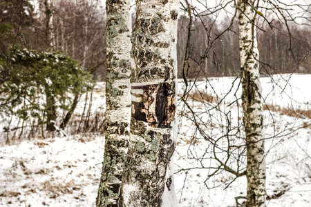 Real birch trunks with bark on background of winter landscape