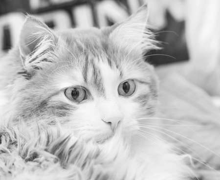 Real portrait of adult amazing brooding cat in black and white