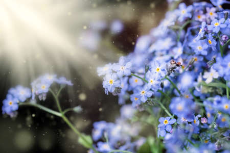 Blue soft flowers of forget-me-nots in rays of light for best mood Stock Photo
