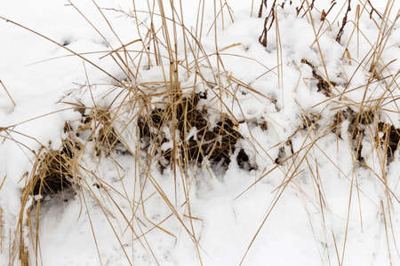 Real dry grass under heavy snow at cloudy winter day