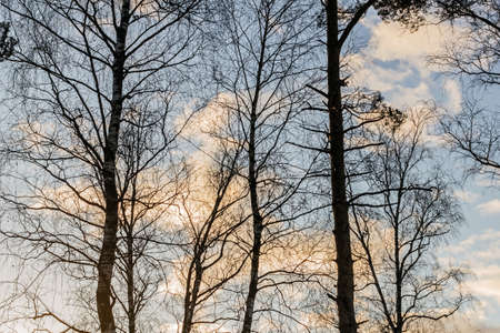 Real charming silhouettes of trees against blue winter sky with clouds