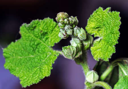 Real green pretty buds of mallow plant in bright light