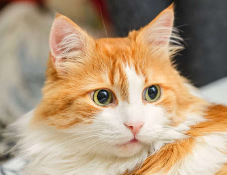 Surprised green eyes of real beautifu homel adult red cat Stock Photo