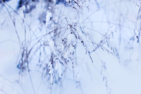 Real pretty dry grass in snow at cloudy winter day Stock Photo