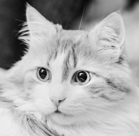 Surprised eyes of real beautiful home adult cat black and white