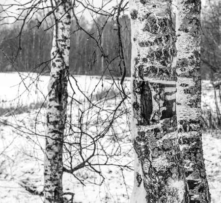 Real birch trunks with bark on background of winter landscape in black and white Stock Photo
