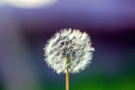 Real pretty white fluffy dandelion on blue tender green background Stock Photo