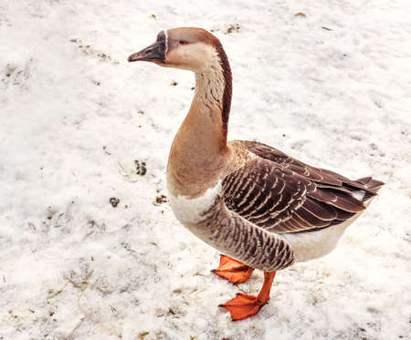 Real big gray and beige goose in snow on winter day Stock Photo