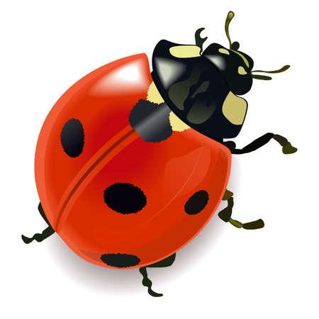 白い背景に分離されたベクトル赤てんとう虫