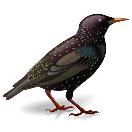 starling: Vector Starling isolated on white background