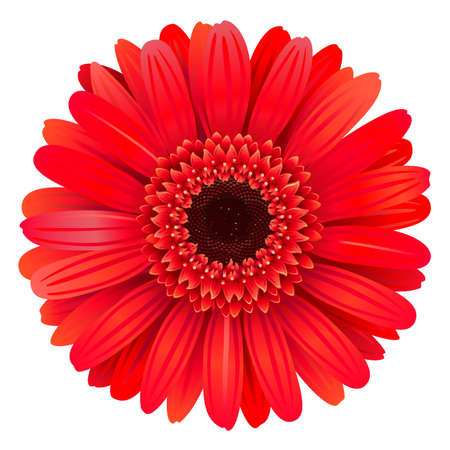 Vector Red Gerbera isolated on white background