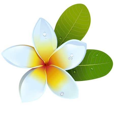 Fleur de frangipanier vecteur isolé sur fond blanc