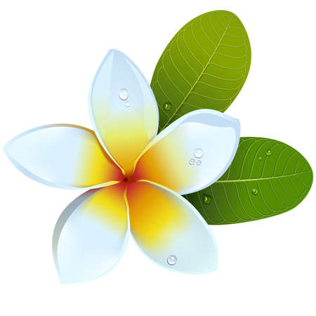 Vector Frangipani Flower isolated on white background