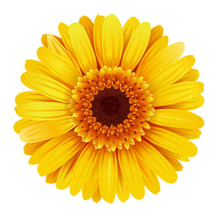Vector Yellow Gerbera isolated on white background Ilustração