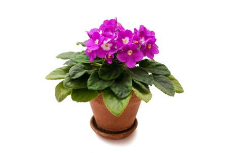 violet in a pot on a white background photo