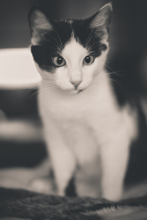 Black and white kitten with green eyes, warm toned picture Stock Photo
