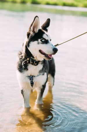 Cute siberian husky puppy dog with blue eyes play outdoors at sunny summer weather