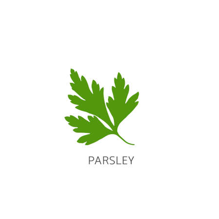 Fresh green parsley leaves on white background. Parsley isolated. Vector illustration.