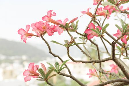 Blossom branch over nature background. Pink magnolia flower on blurred green hill background