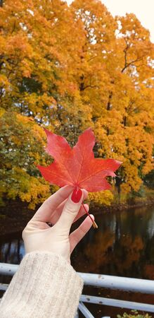 The woman holds red beautiful maple leaf in hands. Autumn park, Mobile photography 写真素材