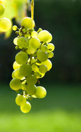 A cluster of green grapes backlit by the sun hanging on a vine with blurred green background.