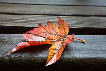 Red, yellow and orange maple fall leaf resting on wet wooden park bench Stock Photo